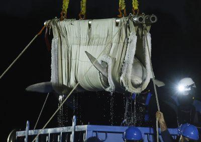 Mystic Aquarium receives 5 Beluga Whales from Canada